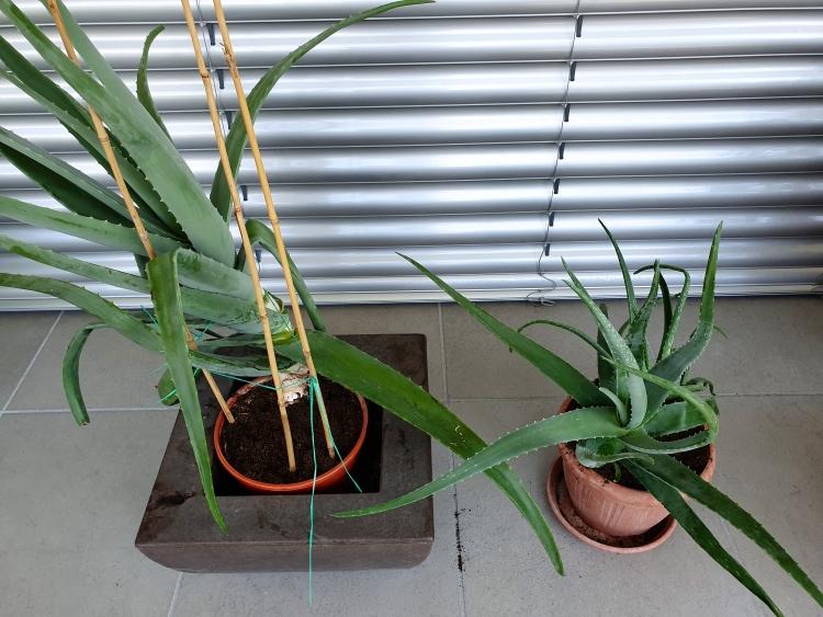 Aloe Vera Mutterpflanze und Kindel sind getrennt