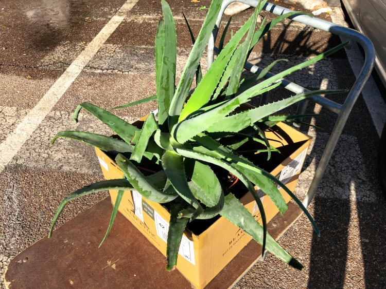 Aloe Vera Pflanze kaufen Gartencenter