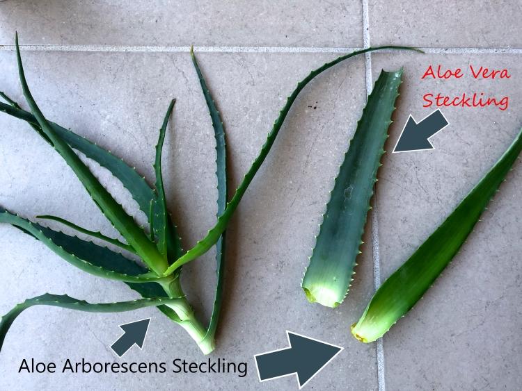 Aloe Vera vermehren Stecklinge