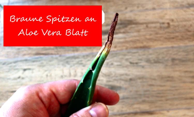 Braune Spitzen an Aloe Vera Blatt
