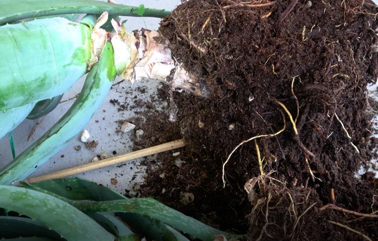 Aloe Vera Mutterpflanze Wurzeln von Ableger trennen